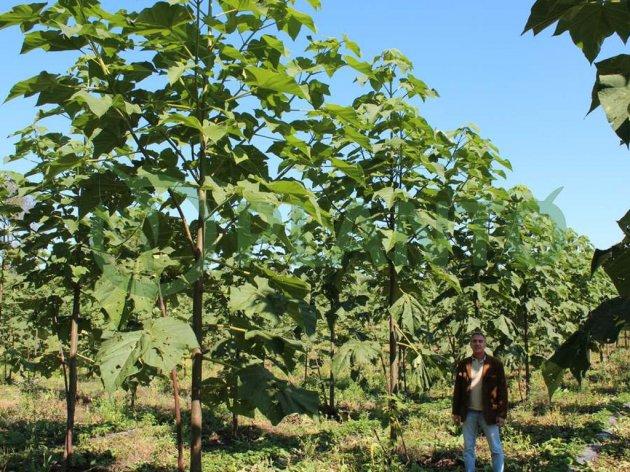 پالونیا, ویژگی های درخت پالونیا, خرید نهال پالونیا,قیمت نهال پالونیا,فروش نهال درخت پائولونیا, فروش نهال رقم چوبی پالونیا, ویژگی های پالونیا