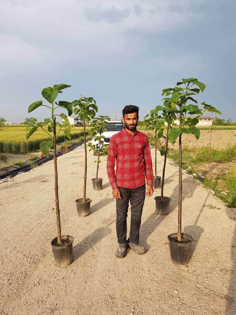 پالونیا سطل (سایز ۱۰) ارتفاع ۱۵۰ تا ۱۷۰ سانتی متر