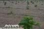 فیلم آموزشی کشت پالونیا با تراکم ۴ در ۲ متر در دو زمان