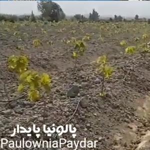 فیلم آموزشی کشت پالونیا به روش جوی و پشته